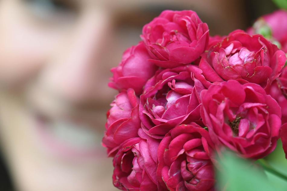 """Baden-Baden, im Juni 2020: Die Rose """"Perennial Red Domino"""" ist beim 68. Internationalen Rosenneuheiten-Wettbewerb mit dem Titel """"Goldene Rose von Baden-Baden"""" ausgezeichnet worden."""