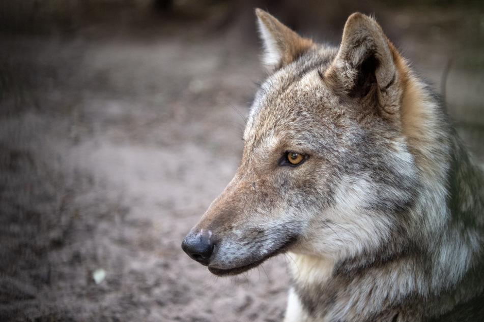 Wölfe: Höchste Wolfsdichte weltweit in Niedersachsen?
