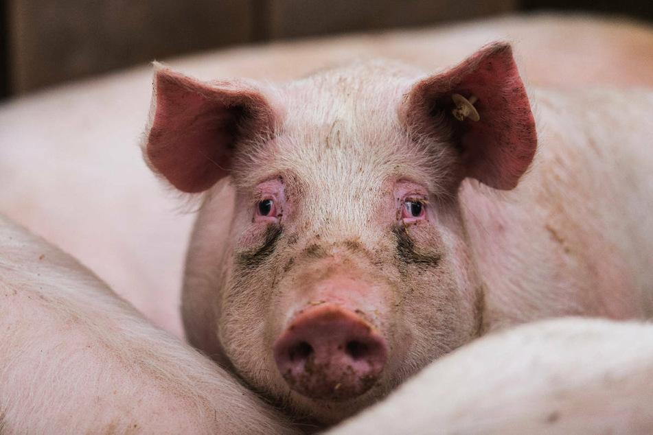 Nach dem Ausbruch der Afrikanischen Schweinepest in Hausschweinbeständen hat die Suche nach dem Übertragungsweg begonnen.
