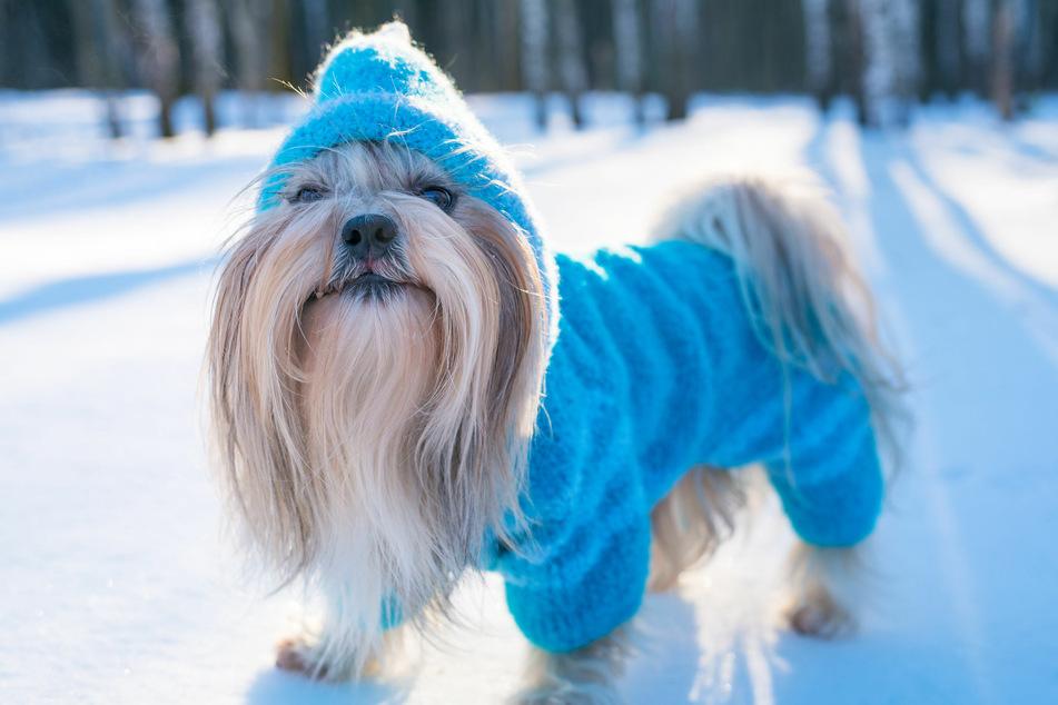 Brauchen Hunde Winterkleidung, wenn es kalt ist?
