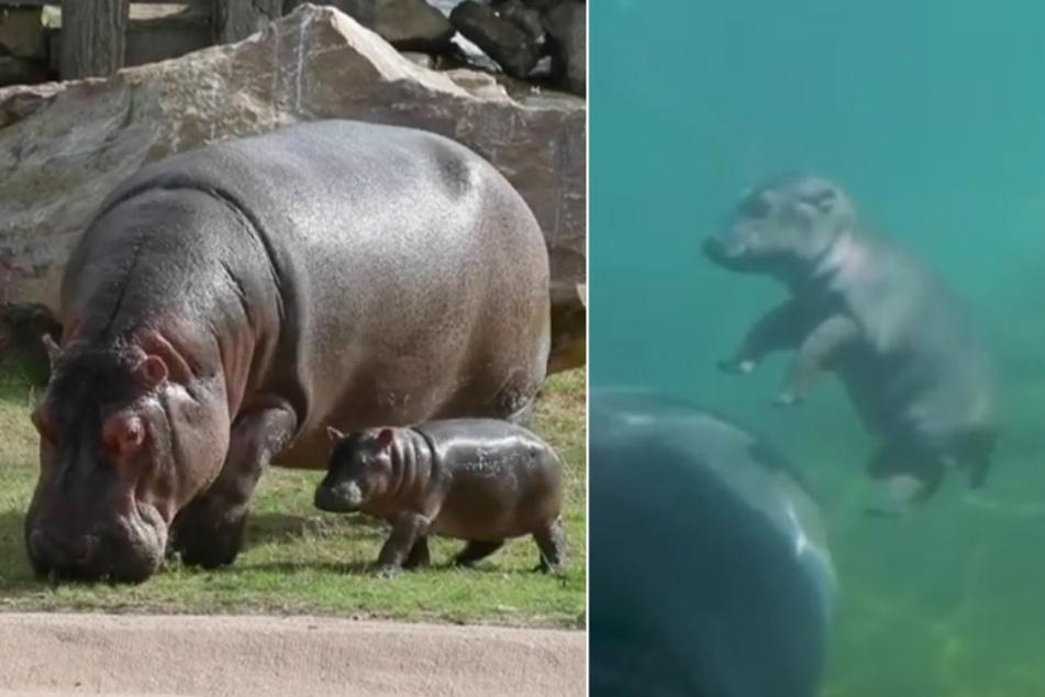 Happy Hippo! Dem Charme von Nilpferd-Baby Gloria kann keiner widerstehen