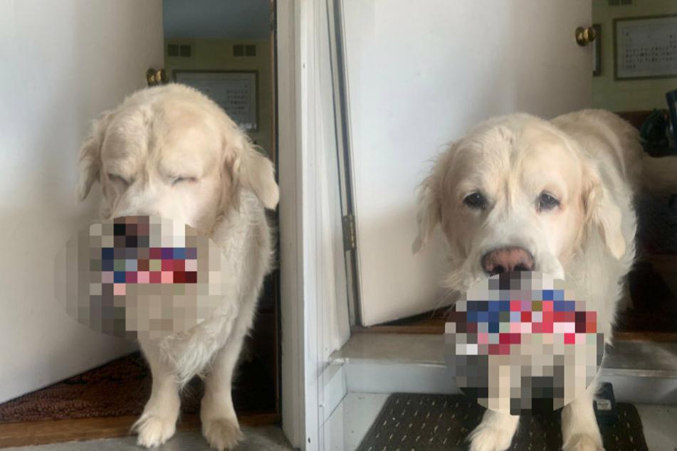 Hund möchte Besitzerin an etwas Wichtiges erinnern: Was trägt er nur im Maul?