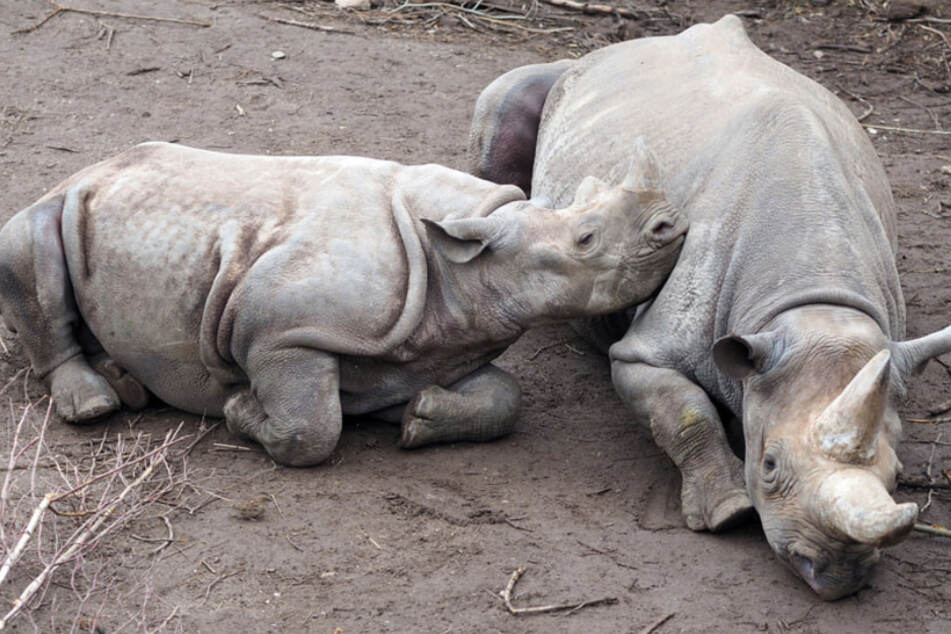 Trauriger Abschied im Leipziger Zoo: Nashornbulle Sudan ist weg!