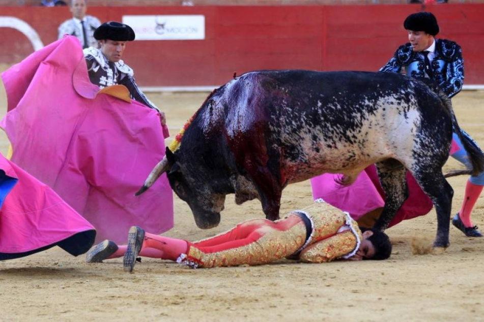 Der Stier, der einen Torero tötete, wird geschlachtet