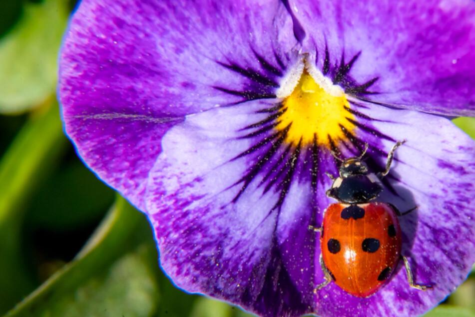 Insekten zählen: Warum Du jetzt auf Marienkäfer achten solltet