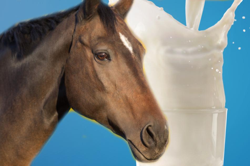 Forschung: Pferdemilch ist gut für Euch