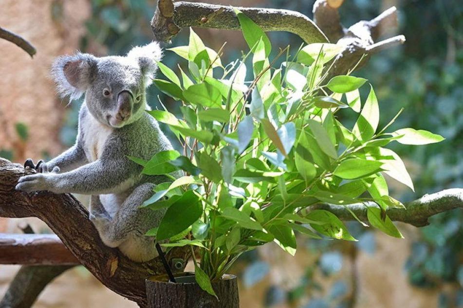 Wird dieser Koala endlich einen Freund finden?