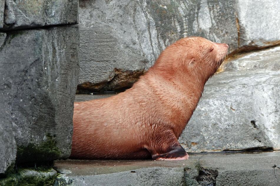 Dieses süße Robbenbaby ist weltweit einzigartig!