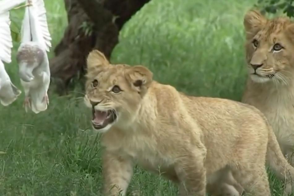 Die Löwenkinder machen Jagd auf das Tauben-Karussell.