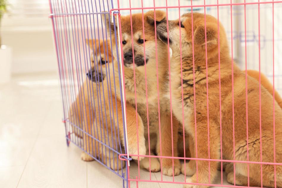 Betrug mit Hundewelpen: Ehepaar kommt vor Gericht!