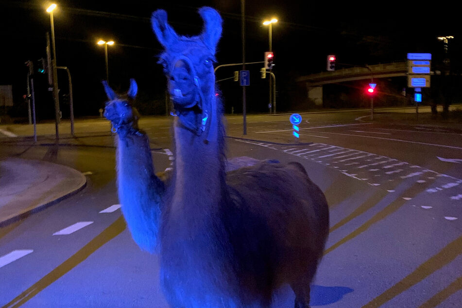 Zirkustiere ausgebüxt: Polizei fängt Lamas