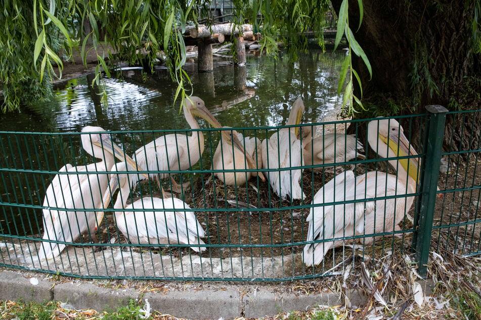 Die Pelikane machen in diesem Jahr Schau-Brüten am Besucherweg.