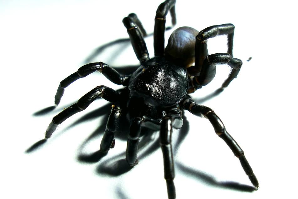 Für Spinnenphobiker wohl ein neuer Albtraum: Die giftige Pine Rockland Falltürspinne.