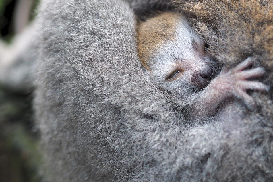 Der Nachwuchs bei den Makis gilt als Zuchterfolg - die Affenart besteht ausschließlich aus einer Population in Madagaskar.