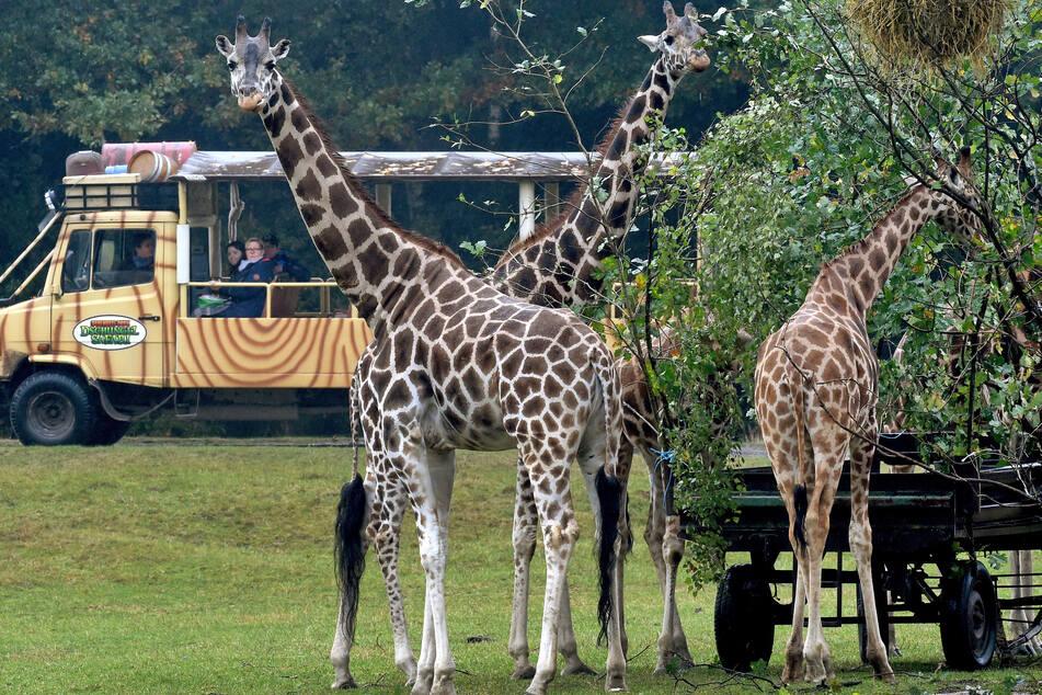 Besucher fahren durch den Serengeti-Park: Am Eingang wurden am Wochenende mehrere Mitarbeiter verletzt.