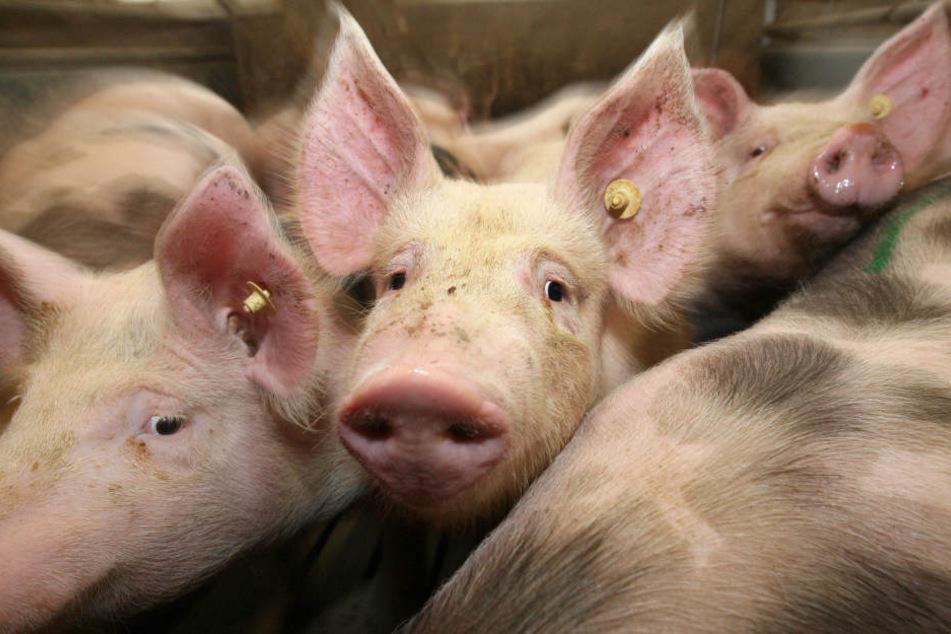 Bei dem brand starben 200 trächtige Schweine.