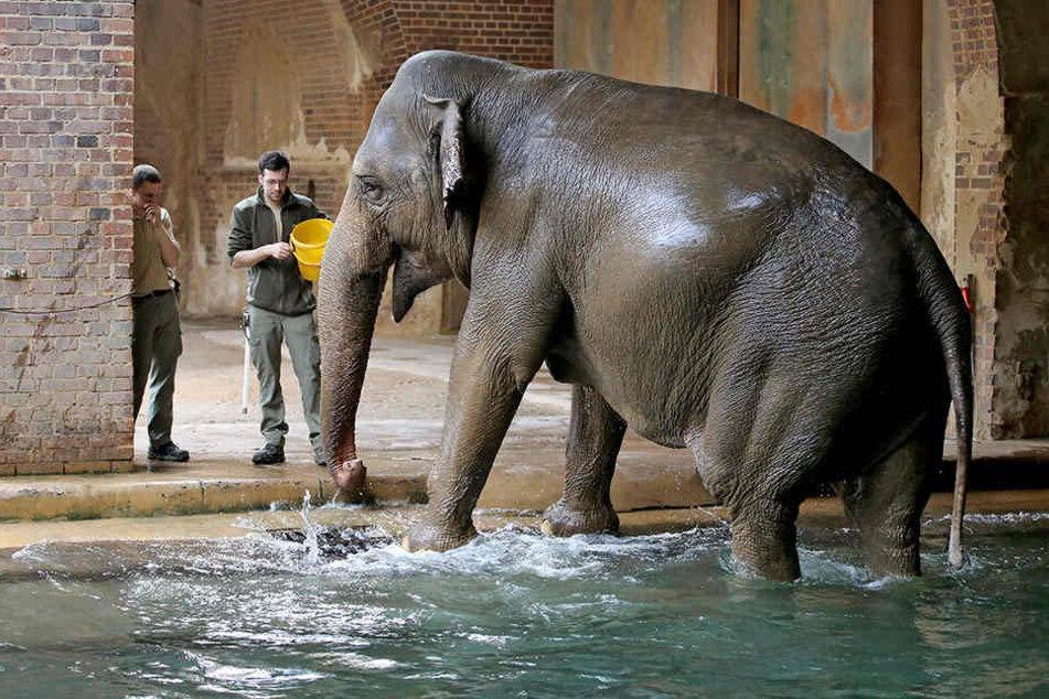Elefantenkuh Hoa erwartet ihr drittes Junges.