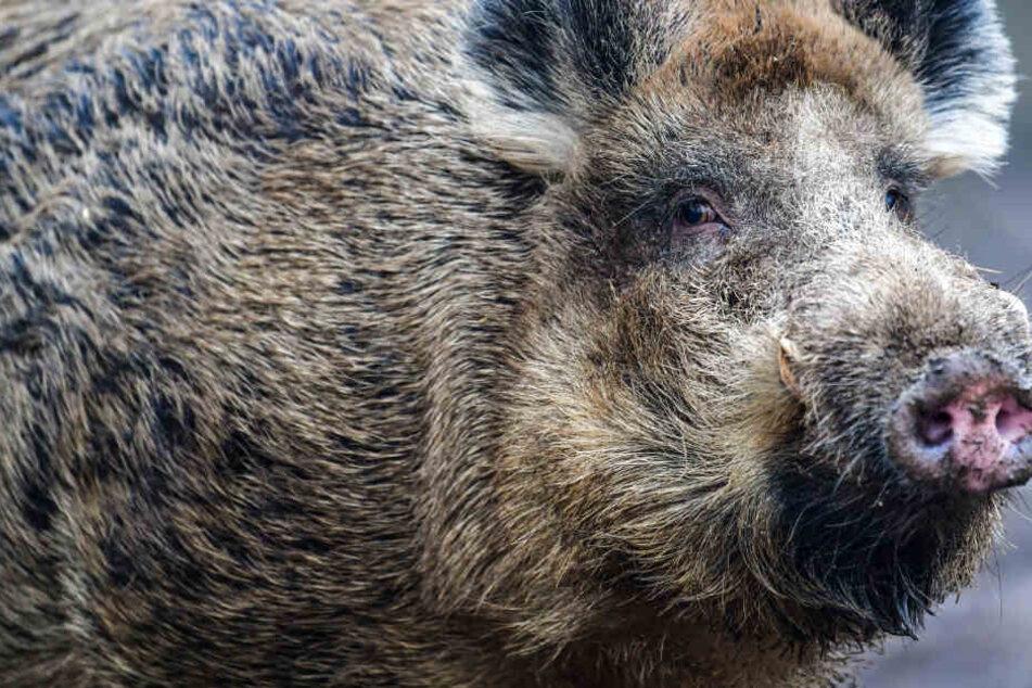 Ein ausgewachsenes Wildschwein wie dieses stellt für einen Menschen durchaus eine Gefahr dar.