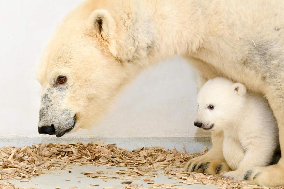 Eisbär-Mama Tonja und das Eisbär-Mädchen, das am 1. Dezember 2018 geboren wurde, laufen herum.