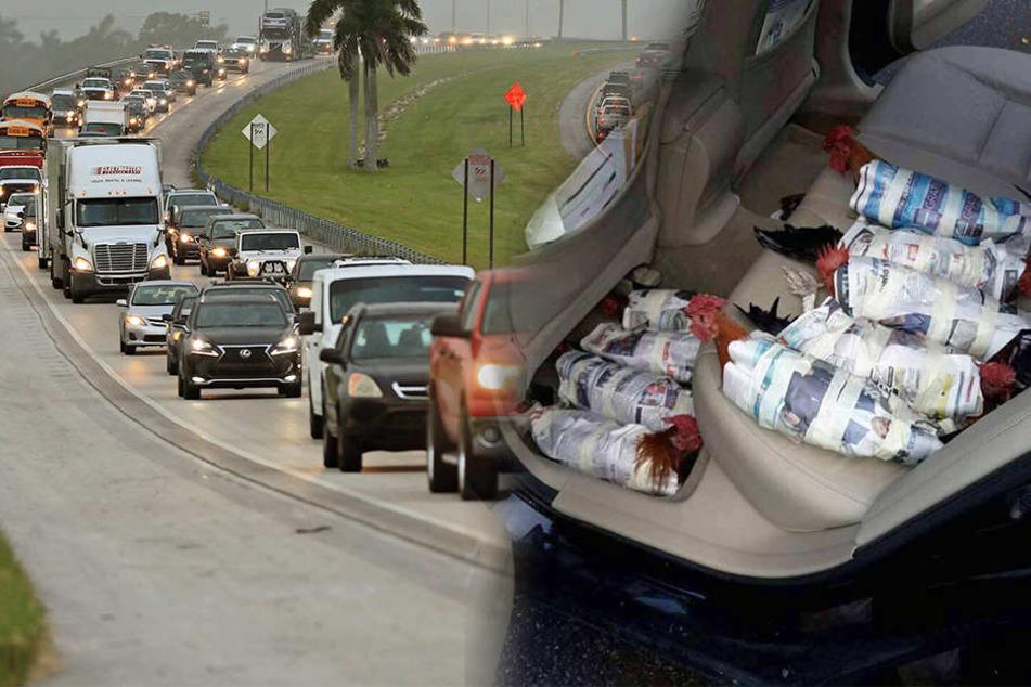 """Menschen verpacken ihre Hühner aus Angst vor Hurrikan """"Irma"""""""