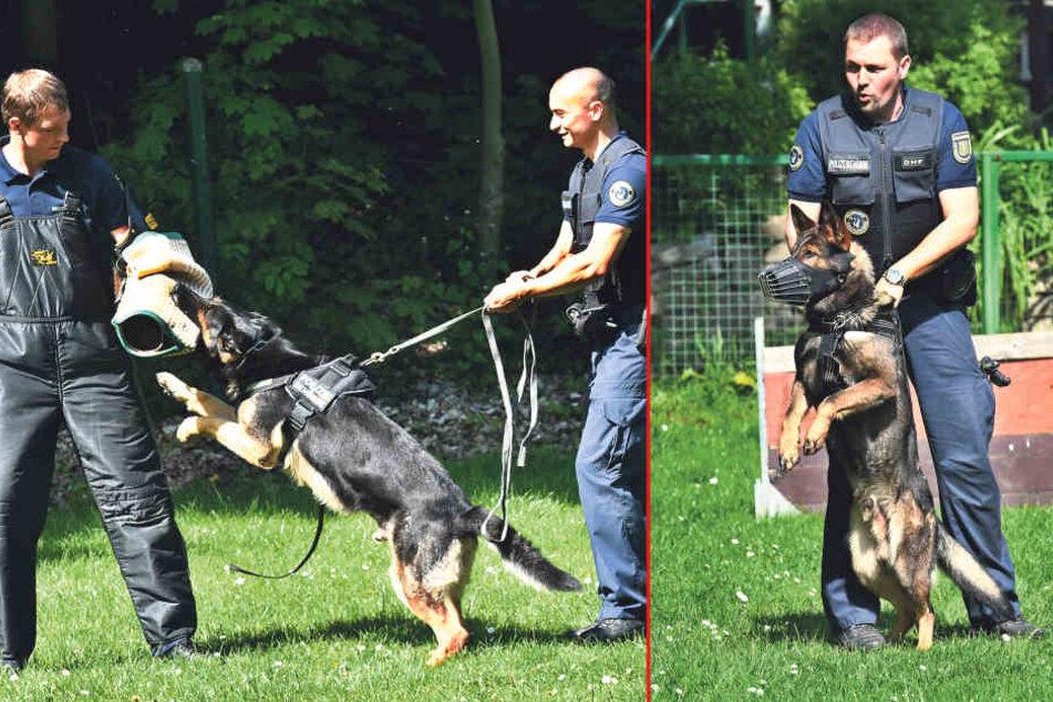 Links: Wie hier in einer Übung kann Maximus (5) von Hundeführer Marc Ngo Long (29)  schmerzhaft zubeißen. Rechts: Hundeführer Marcel Langenbacher (37) mit seinem Hund Nick (3).
