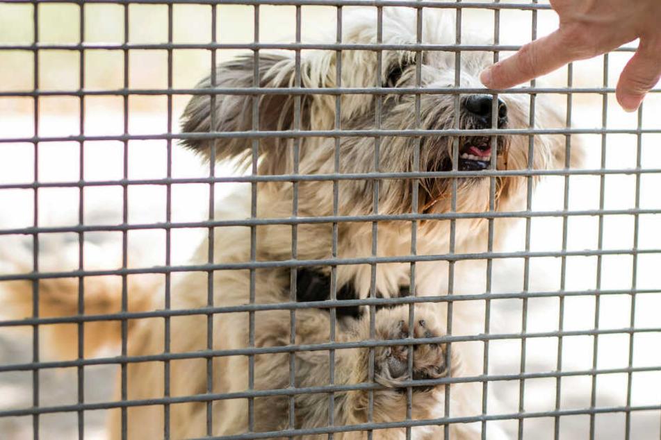 Statt beim Züchter sollen zukünftige Hundeeltern besser im Tierheim suchen, so PETA.