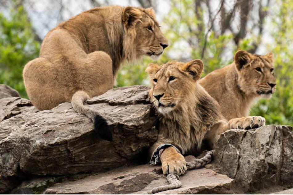 Die drei Löwen Yaro, Kiron und Mira sitzen am 03.04.2019 in ihrem Gehege im Frankfurter Zoo auf einem Felsen.