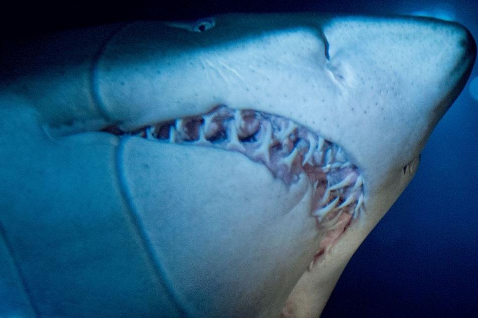 Dieses Foto zeigt einen Sandtigerhai (Symbolbild).