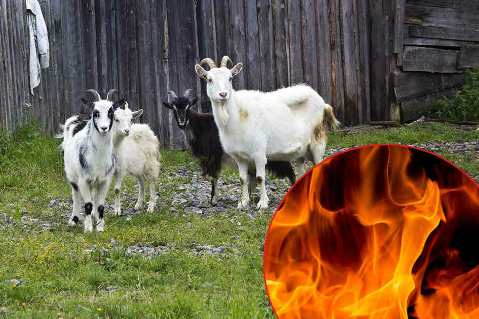 Zwölf Ziegen bei Feuer in Stall verendet