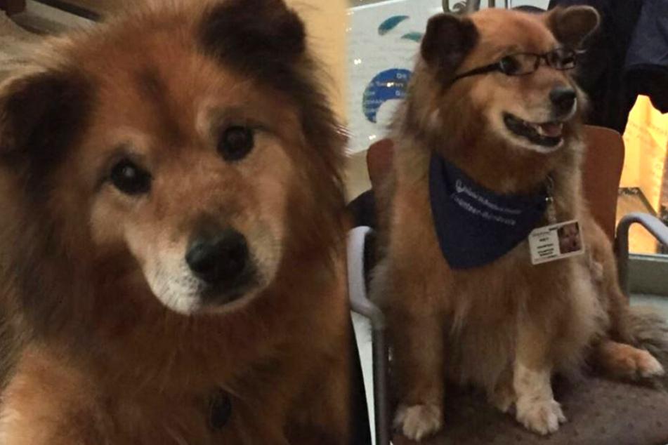 Drama! Dieser Therapie-Hund verliert den Kampf gegen den Krebs