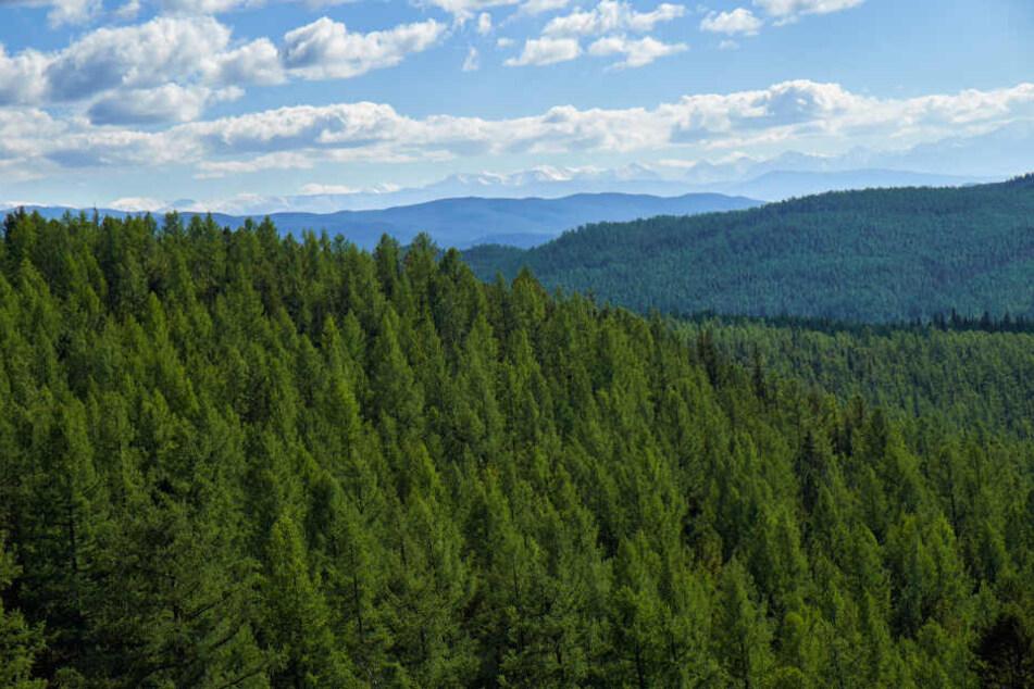 Aus einem Wald im Landkreis Mansfeld-Südharz verschwanden 25 Bäume. (Symbolbild)