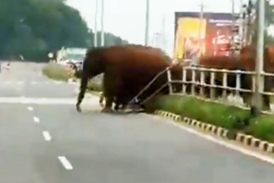 Die Elefanten-Mutter trampelte den Zaun einfach nieder.