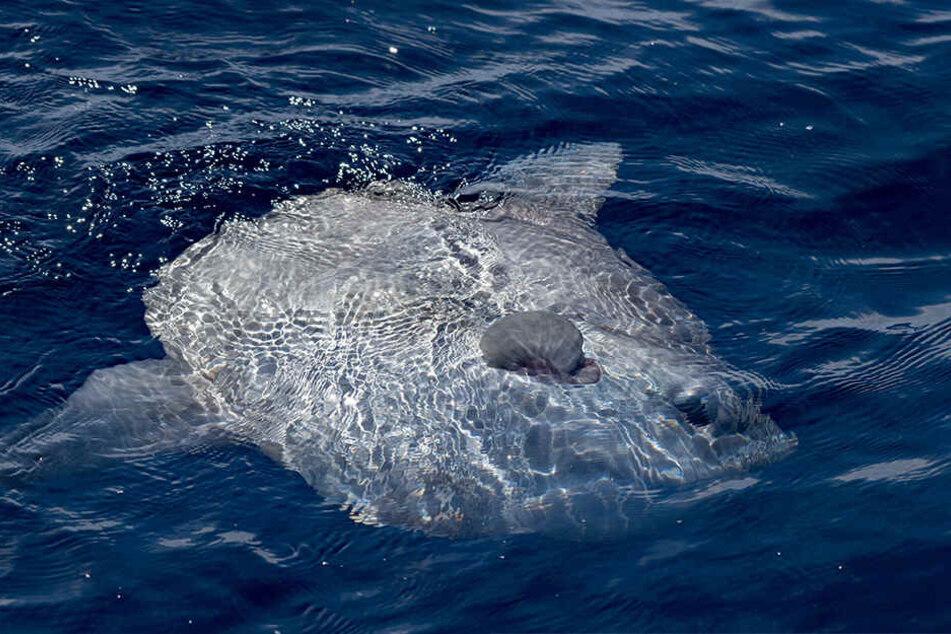 Das Netz wurde mit einem Messer zerschnitten, der Mondfisch wurde aus seiner misslichen Lage befreit.