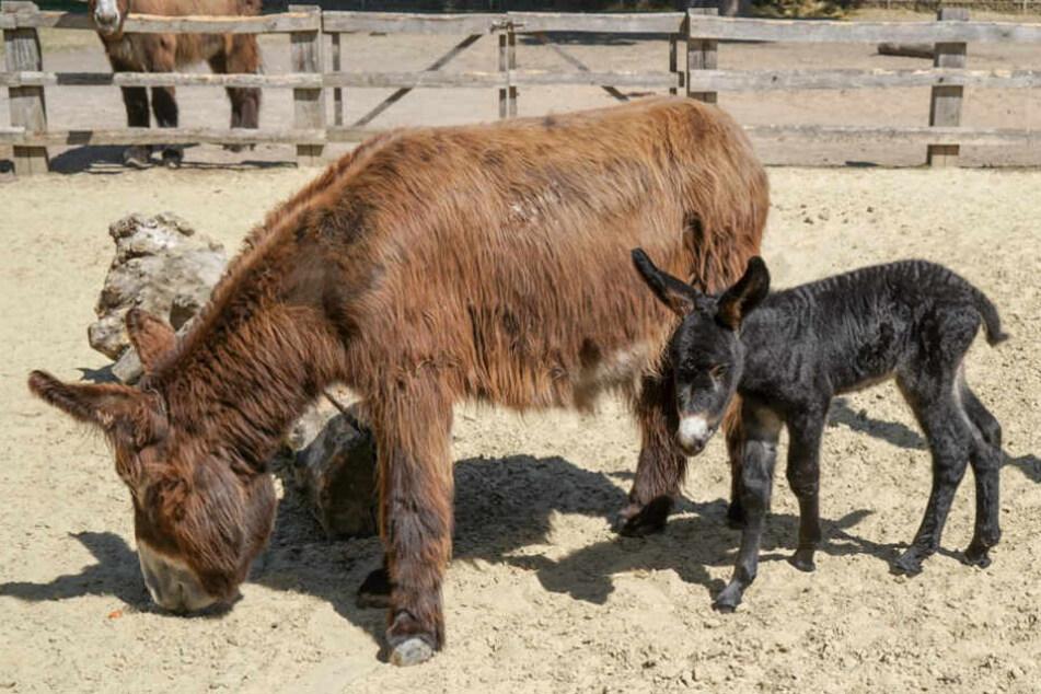 Hurra, das Esel-Baby ist da: Der Kölner Zoo hat Nachwuchs bekommen
