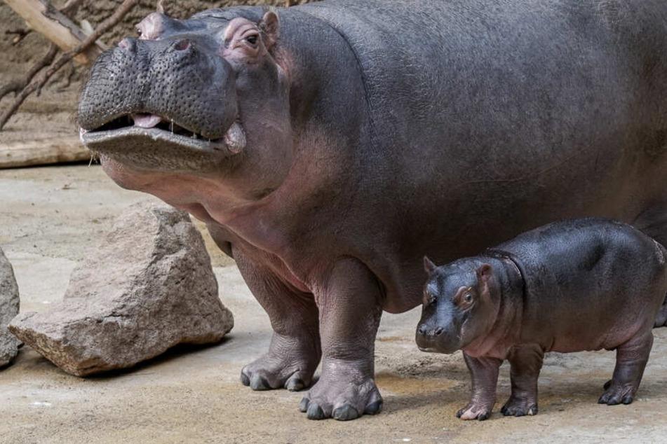 Der kleine Flussuferd-Bulle wurde Ende Mai im Kölner Zoo geboren.