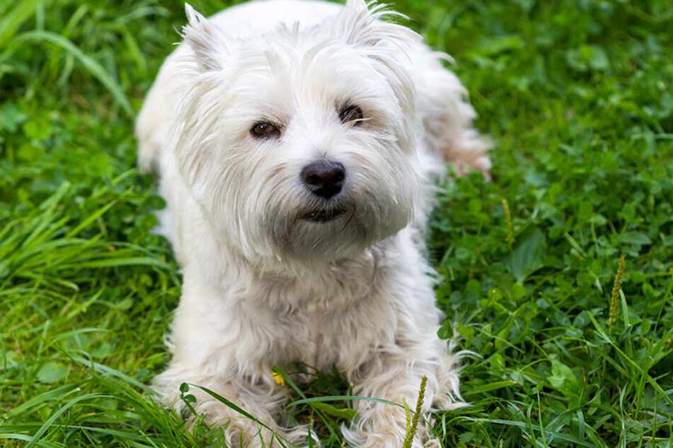 So gesund und munter, wie dieser West Highland White Terrier, wird Muffin nie mehr aussehen (Symbolbild).
