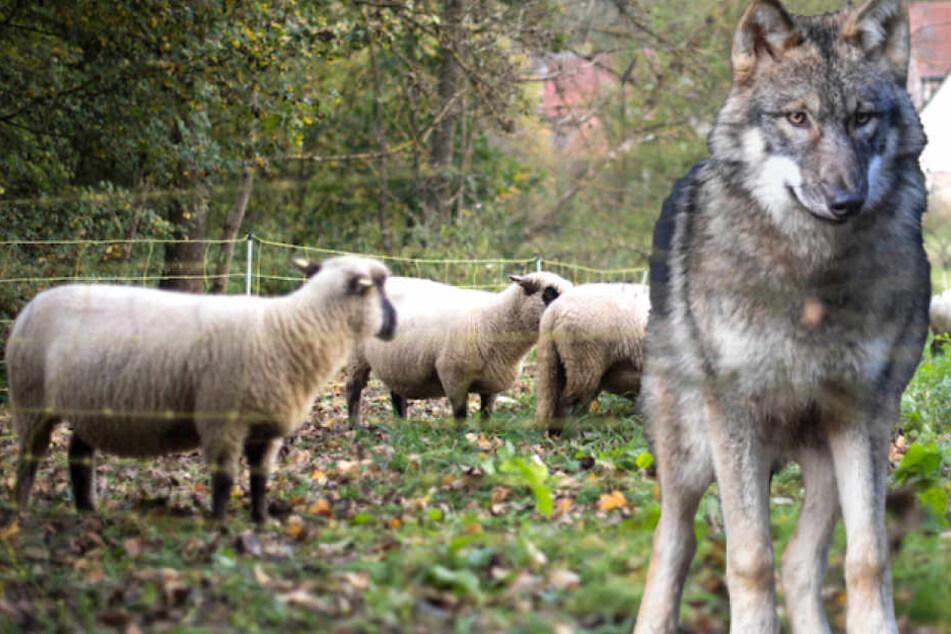 Blutige Wolf-Attacke! Drei Schafe gerissen, eins davon tot