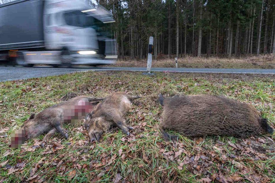 Der etwa 70 Kilogramm schwere Keiler und die beiden rund 35 Kilogramm schweren Frischlinge starben.