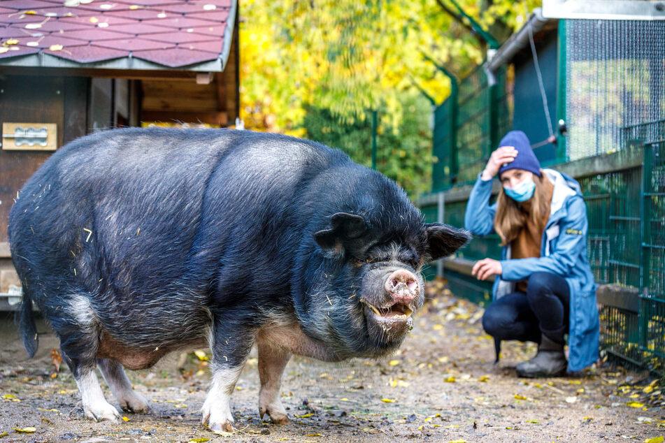 Schwein Bruno bringt so manchen Patienten zum Lachen und somit auf andere Gedanken.