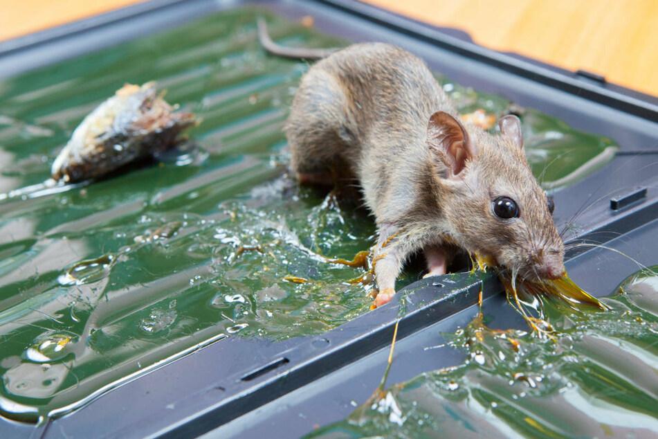 Mäuse starben nach langem Todeskampf in verbotenen Klebefallen: Gastwirt vor Gericht