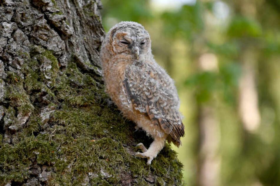 Ein von einem Spaziergänger im Wildpark Eekholt abgegebener Waldkauz krabbelt einen Baum hoch.