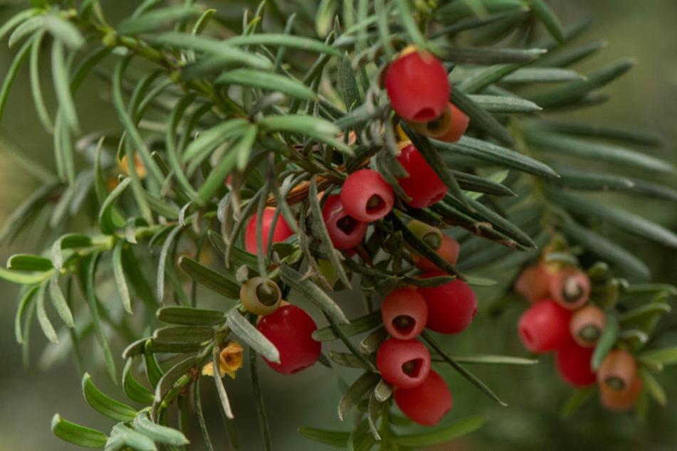 Mit ihren leuchtend roten Beeren, kann die Eibe für Kinder verführerisch sein, aber sie ist giftig.