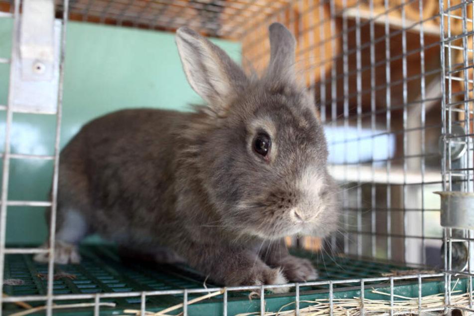Kaninchen und Meerschweinchen gelten fälschlicherweise als Einsteiger-Tiere (Symbolfoto).