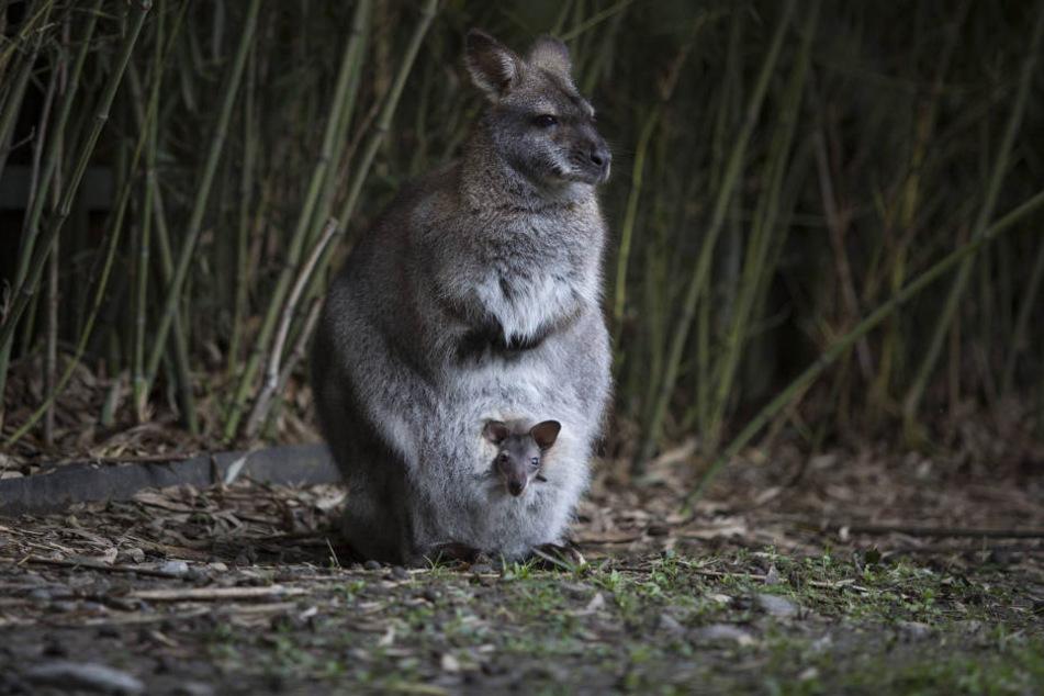 In Osthessen ist ein Känguru aus seinem Gehege ausgebüxt und im Wald verschwunden.