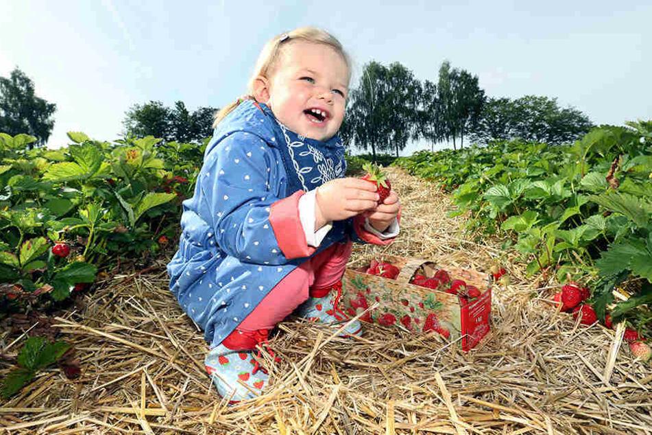 Nach Pfingsten gibt es Chancen auf die ersten frischen Früchte vom Feld.