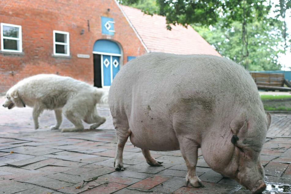 Kurioser Einsatz! Polizei in Erfurt sucht Besitzer von Hängebauchschwein