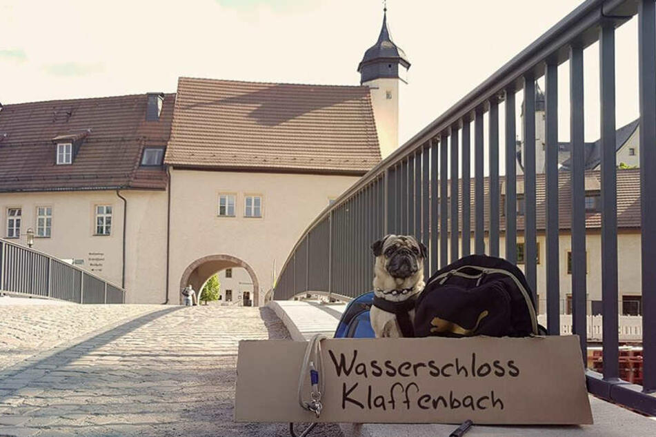 Mops Kurt hat sich schon zur neuen Location durchgeschnüffelt: Der diesjährige Hunde-Weihnachtsmarkt findet im Wasserschloss Klaffenbach statt.