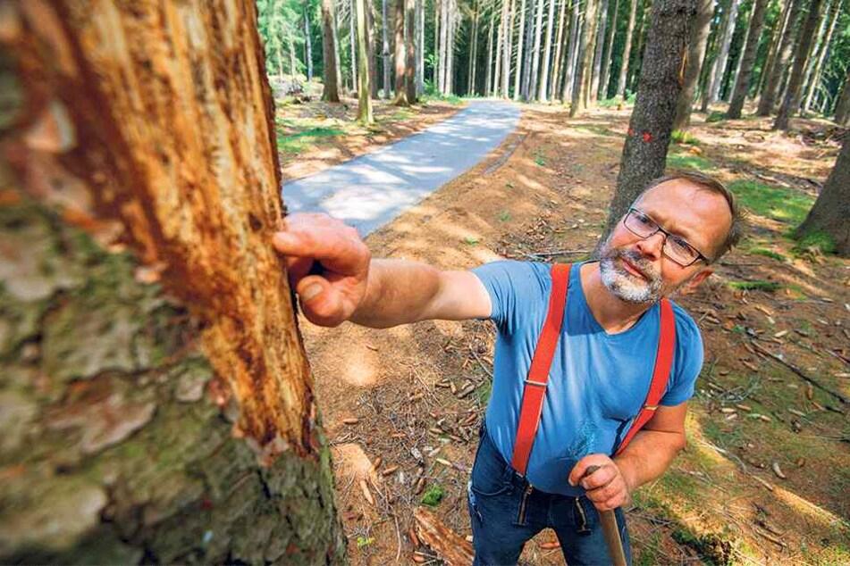 Revierförster Torsten Kripfgans zeigt die Schäden unter der Rinde. Der Borkenkäferbefall bedeutet ein flächendeckendes Drama für Sachsens Wälder.