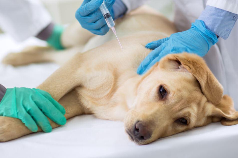 Unfassbar! Hund hat starke Schmerzen, doch Besitzer weigert sich zum Tierarzt zu gehen