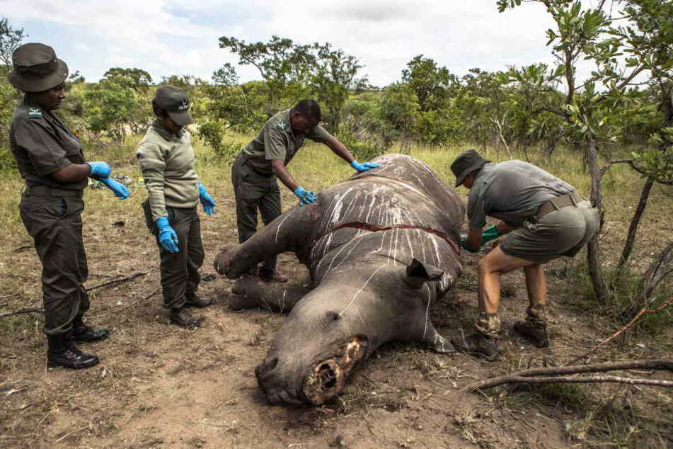 Arbeiter der Ermittlungsstelle für Umweltkriminalität von den SANParks führen im Kruger National Park Skukuza eine Untersuchung an einem Nashorn durch, das wegen seiner Hörner getötet wurde.
